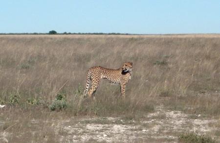 NAMIBIA ETOSHA, LOS GUEPARDOS SON SIN DUDA LOS FELINOS MAS ELEGANTES (CHEETAH)