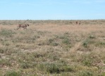 NAMIBIA ETOSHA, LOS GUEPARDOS YA ESTAN ATENTOS DE NOSOTROS (CHEETAH)