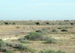 KAZAQUISTAN 1° ENTRADA 21. (EN RUTA A ATYRAOU) VEMOS CAMELLOS DE ESTEPA AUN CON PALAJE DE INVIERNO