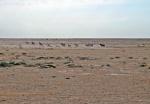 KAZAQUISTAN 1° ENTRADA 31. (EN RUTA A ATYRAOU) LOS CABALLOS ESTAN REPARTIDOS POR TODA LA ESTEPA