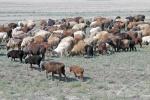KAZAQUISTAN 1° ENTRADA 64. (CON  DESTINO A UZBEKISTAN) OVEJAS DE LA RAZA KARAKUL DE SUS  FETOS SE SACA LA COTIZADA PIEL DEASTRACAN