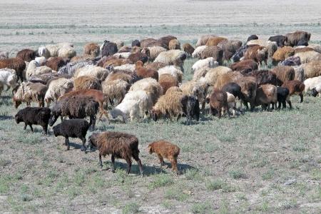 KAZAQUISTAN 1° ENTRADA 64. (CON DESTINO A UZBEKISTAN) OVEJAS DE LA RAZA KARAKUL DE SUS FETOS SE SACA LA COTIZADA PIEL DE ASTRACAN