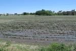 UZBEKISTAN 227 (LA VIDA EN SAMARCANDA) AUNQUE FALTA EL AGUA EL SISTEMA DE REGADIO DEL ALGODON SE HACE POR INUNDACION