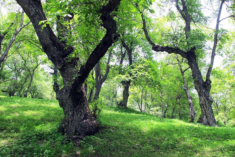 Kirguistan 122 arslanbob en el bosque de nogales se for Imagenes de arboles ornamentales