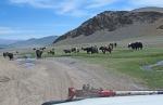 MONGOLIA 28 (HACIA KHOVB) UN GRUPO DE JAKS EN NUESTRO CAMINO
