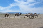MONGOLIA 90 (POR LA ESTEPA) CAMELLOS EN LA REGION DE YAMBAT 3