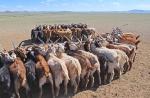 MONGOLIA 168 (GOBI-HACIA GUCHIN US) REUNEN LAS CABRAS POR GRUPOS, PARA ORDEÑARLAS