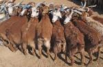 MONGOLIA 169 (GOBI-HACIA GUCHIN US) MANTIENEN QUIETOS A LOS ANIMALES ENTRELAZANDOLOS POR LOS CUERNOS, SIN NECESIDADS DE CUERDAS