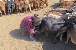 MONGOLIA 170 (GOBI-HACIA GUCHIN US) UNA JOVEN ORDEÑANDO...