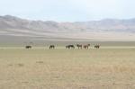 MONGOLIA 228 (GOBI- DE BOGD SUM A BULGAN) DONDE EL TERRENO ES MENOS ARIDOS SE VEN CABALLOS