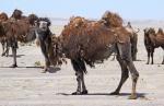 MONGOLIA 235 (GOBI- DE BOGD SUM A BULGAN) SOPORTAN TEMPERATURAS DE HASTA −43 °C. EN INVIERNO , Y MÁS DE 55 °C AL SOL EN VERANO
