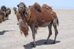 MONGOLIA 238 (GOBI- DE BOGD SUM A BULGAN) ES UN ANIMAL DIURNO, DUERME DE NOCHE EN ESPACIOS ABIERTOS