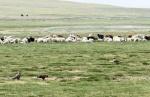 MONGOLIA 278 (HACIA UVURKHUSHUUT) EN ESTA EPOCA LAS RAPAZES SIGUEN LOS REBANOS, PARA COMER LOS DEPOJOS DE LOS PARTOS Y ALGUNA CRIA
