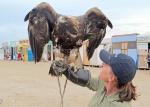 MONGOLIA 372 (KARAKORUM) EL AGUILA REAL, PUEDE VOLAR A UNA VELOCIDAD DE 300 KM:H EN PICADO