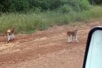 SENEGAL 38 (LA PETITE-CÔTE - JOAL Y FADIOUTH) SE NOS CRUZAN ALGUNOS ANIMALES POR LA PISTA