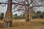 MALI 230 (EL PAIS DE DOGONES-LOS BAO BAD SAGRADOS) SU FRUTO ES TAMBIEN CONOCIDO COMO LA LOPERAMIDA DE AFRICA, POR SU EFICACIA CONTRA LA DIARREA PRODUCIDA POR LA GASTROENTERITIS