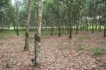 GHANA 96 (HACIA LA COSTA DE MARFIL) UNA PLANTACION DE CAUCHO