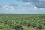 GHANA 98 (HACIA LA COSTA DE MARFIL) JOBEN PLANTACION DE PALMERAS DE ACEITE