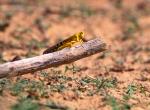 NIGER 21 (UNA PLAGA DE LANGOSTAS) ESTOS INSECTOS PUEDEN DESTROZAR TODA LA VEGETACION DE UN GRAN REGION EN UNAS POCAS HORAS