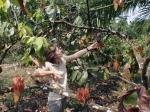 GABON 3. (AL NORTE) DEL ECUADOR). GABONESES QUIEREN RELANZAR LA PRODUCCION DE CACAO PAR A LLEGAR DE A LAS 2000 TONELADA PARA EL 20014...