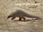 GABON 7. (AL NORTE) DEL ECUADOR) ...PANGOLIN... FOTO DE ARCHIVO